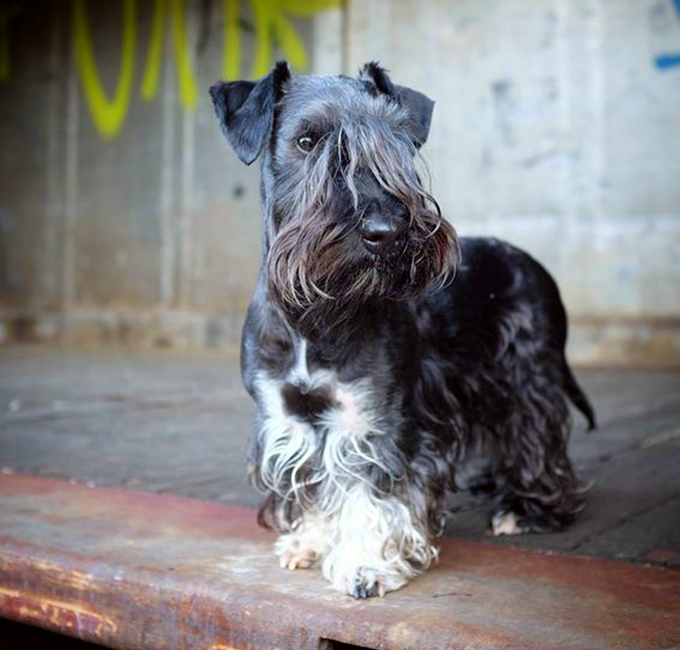 Cesky Terrier: Photo #10