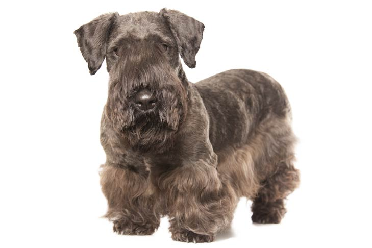 Cesky Terrier: Photo #1