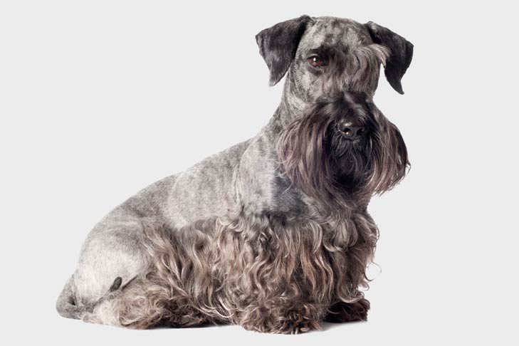 Cesky Terrier: Photo #2