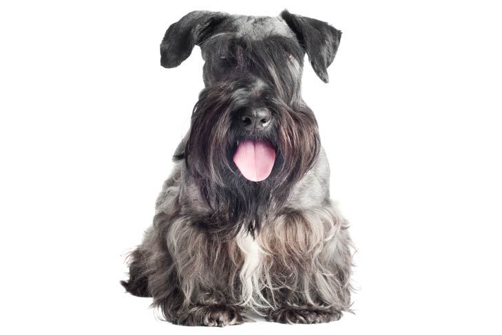 Cesky Terrier: Photo #3