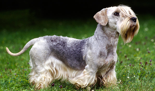 Cesky Terrier: Photo #14