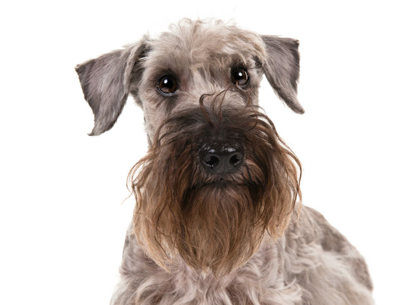 Cesky Terrier: Photo #4
