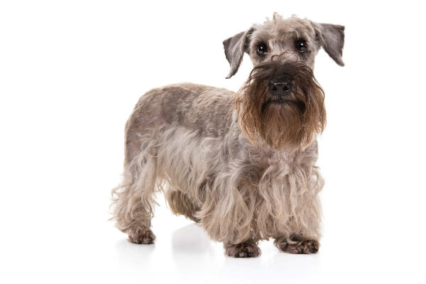 Cesky Terrier: Photo #6