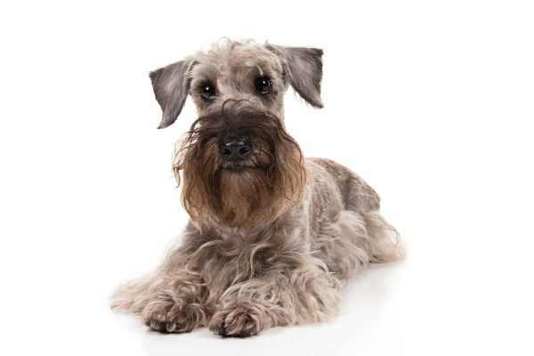 Cesky Terrier: Photo #7