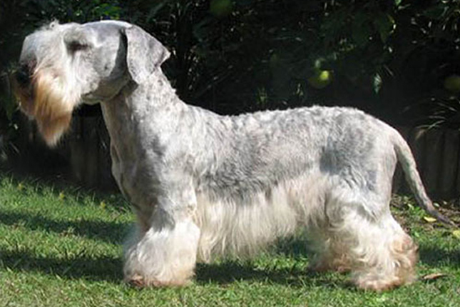 Cesky Terrier: Photo #8