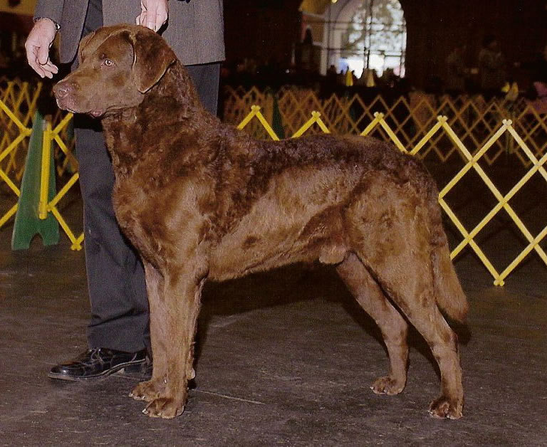 Chesapeake Bay Retriever: Photo #9