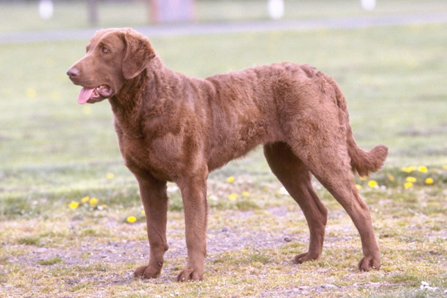 Chesapeake Bay Retriever: Photo #13