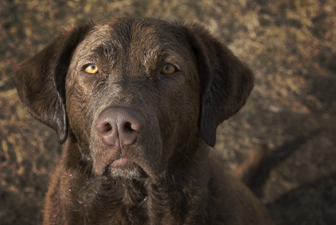 Chesapeake Bay Retriever: Photo #10