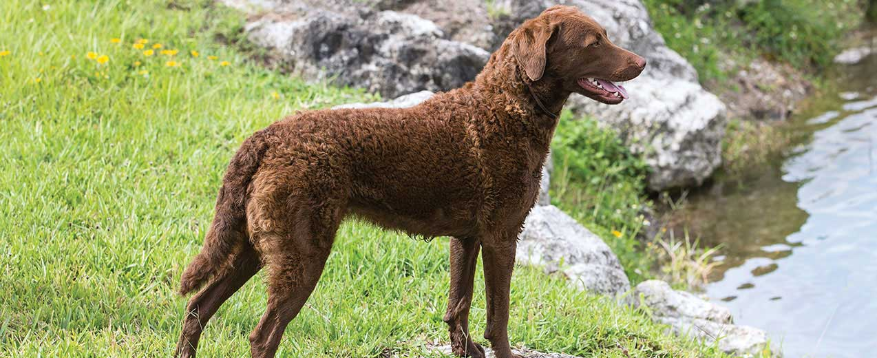 Chesapeake Bay Retriever: Photo #11