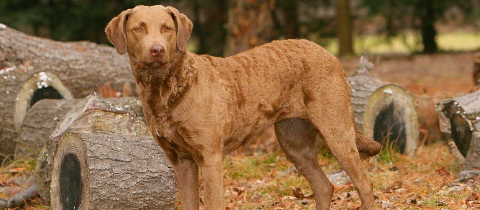 Chesapeake Bay Retriever: Photo #14