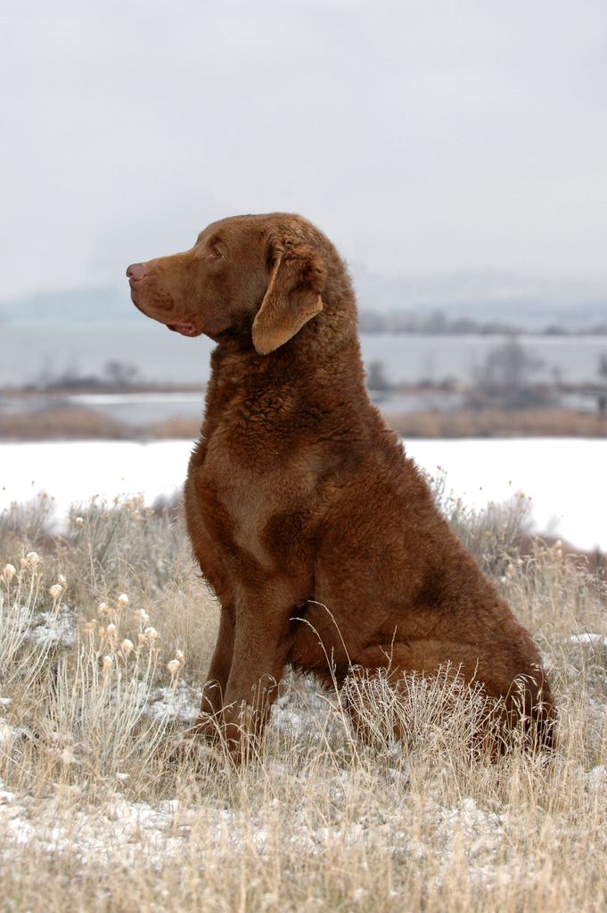 Chesapeake Bay Retriever: Photo #16