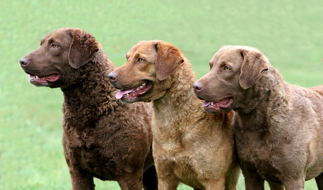 Chesapeake Bay Retriever: Photo #2