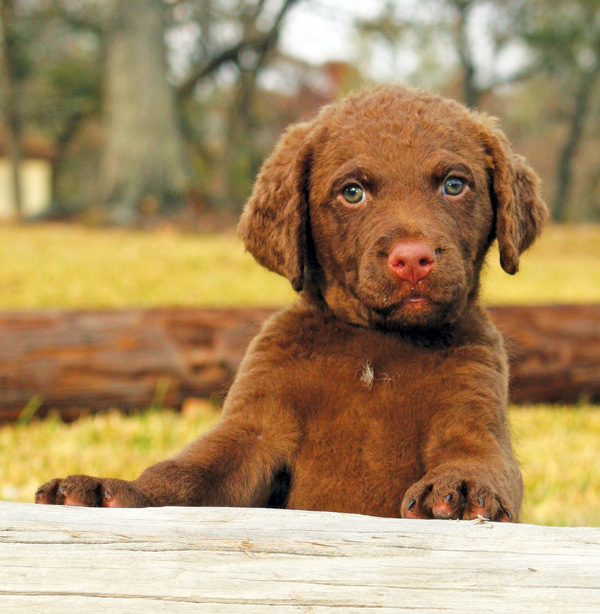 Chesapeake Bay Retriever: Photo #4