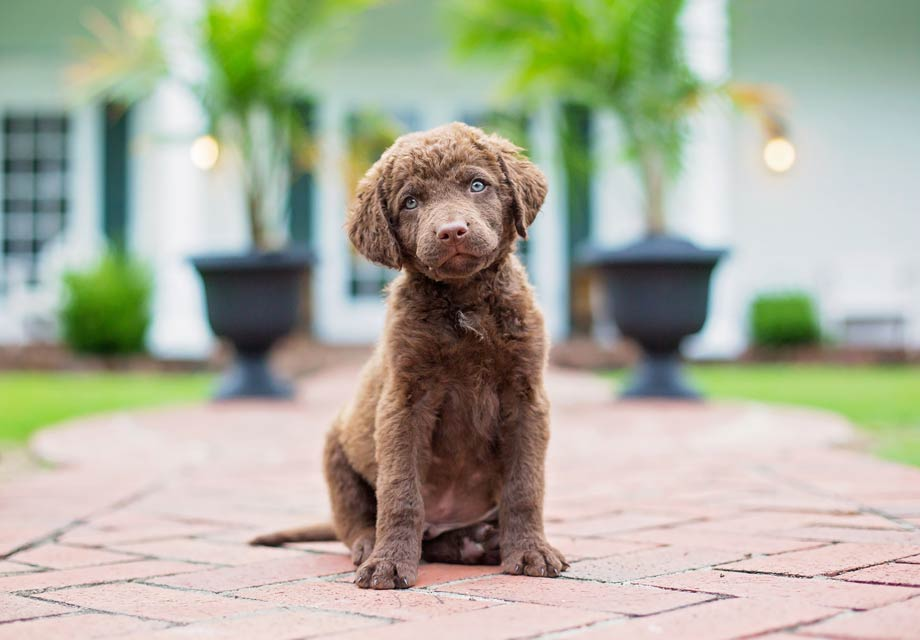 Chesapeake Bay Retriever: Photo #5