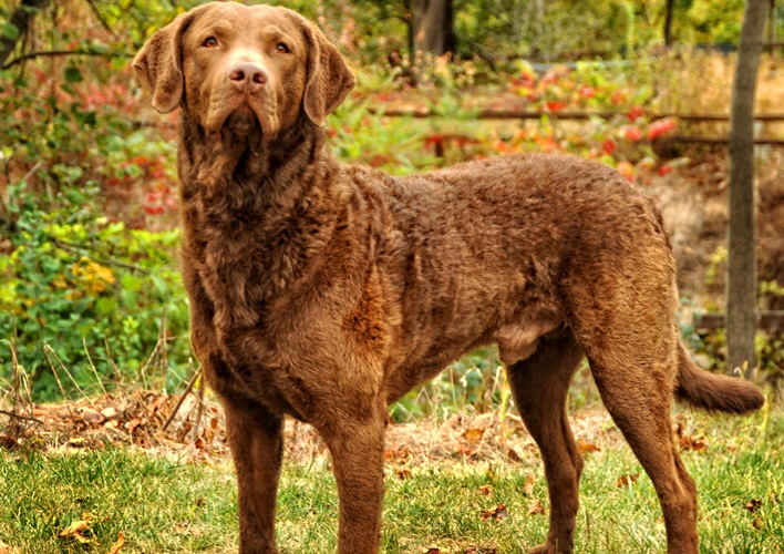 Chesapeake Bay Retriever: Photo #6