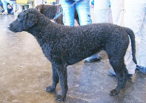 Curly-Coated Retriever: Photo #10