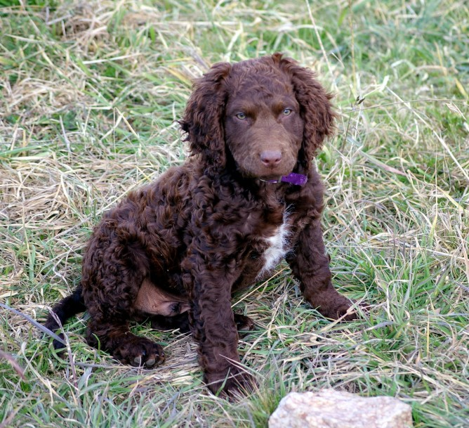 Curly-Coated Retriever: Photo #11