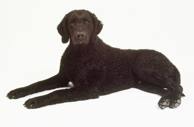 Curly-Coated Retriever: Photo #12