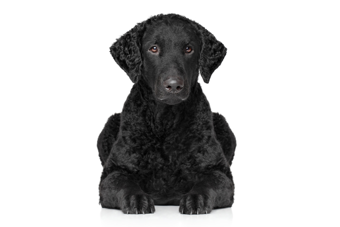 Curly-Coated Retriever: Photo #3