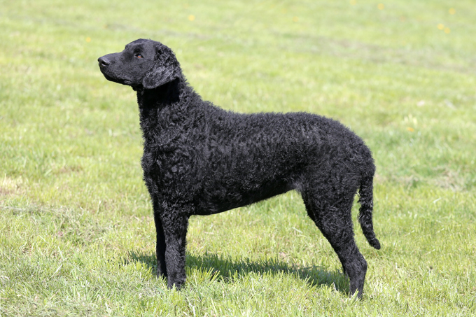Curly-Coated Retriever: Photo #13