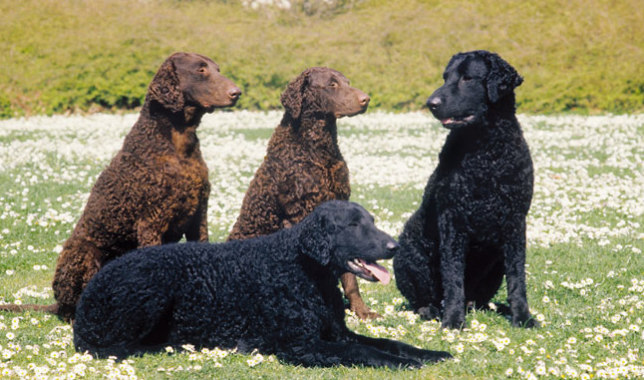 Curly-Coated Retriever: Photo #4