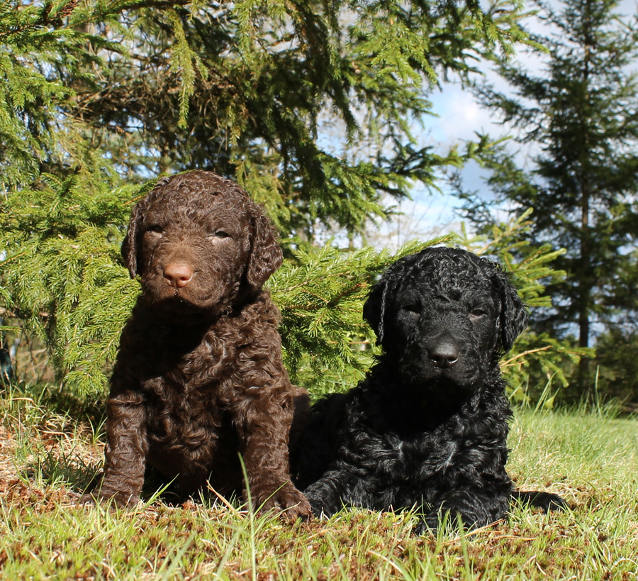 Curly-Coated Retriever: Photo #6