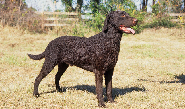 Curly-Coated Retriever: Photo #7