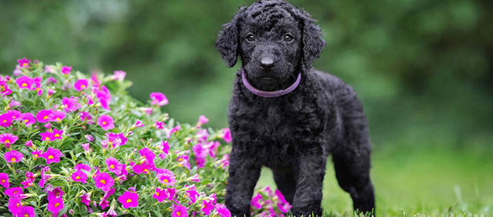 Curly-Coated Retriever: Photo #8