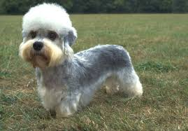 Dandie Dinmont Terrier: Photo #1
