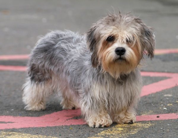 Dandie Dinmont Terrier: Photo #10