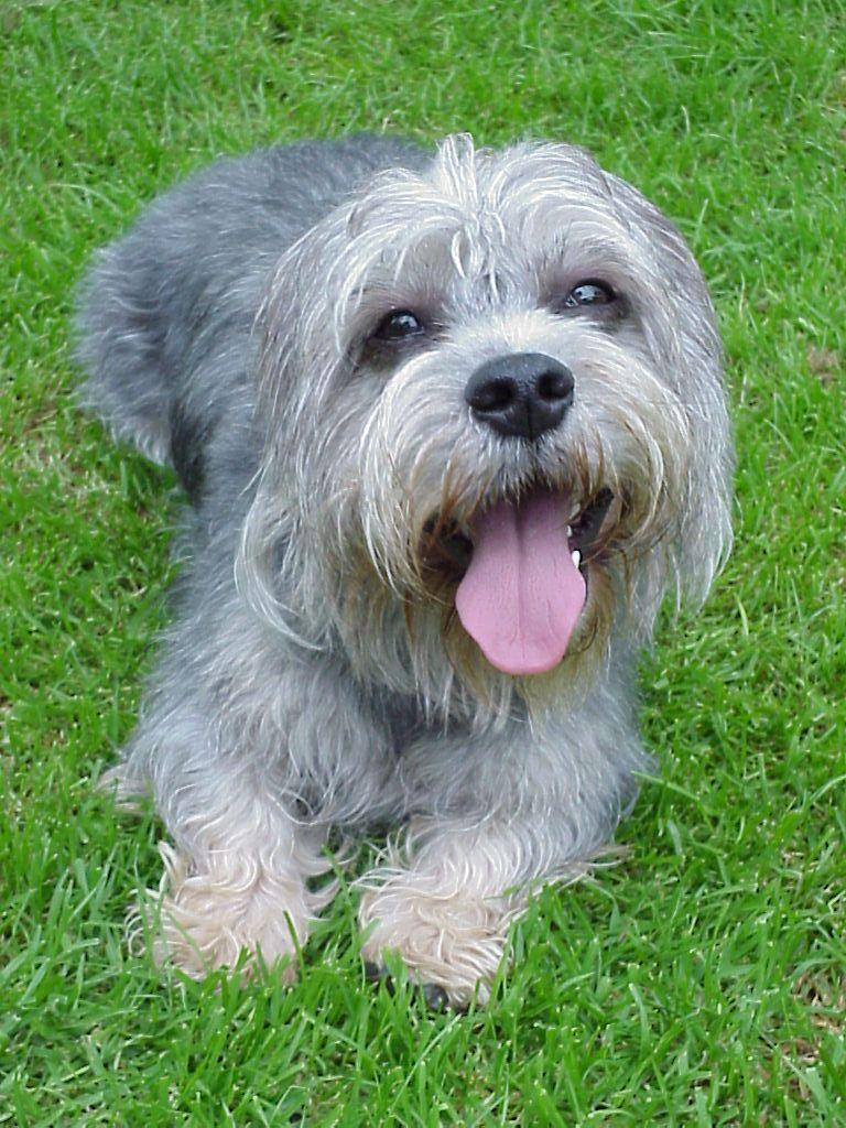 Dandie Dinmont Terrier: Photo #13