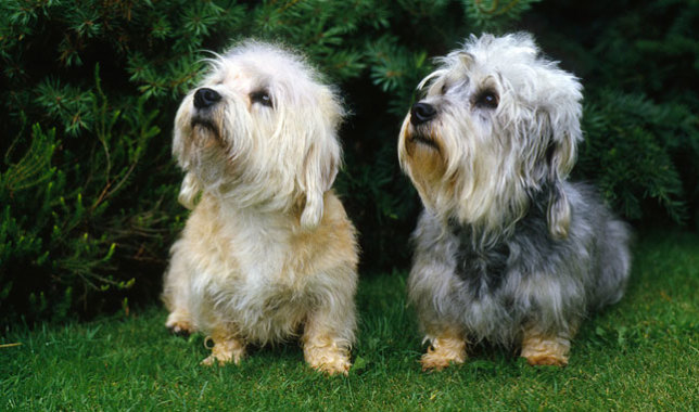 Dandie Dinmont Terrier: Photo #2