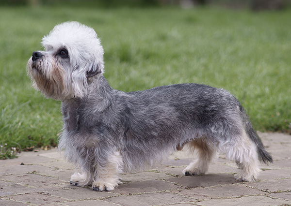 Dandie Dinmont Terrier: Photo #4