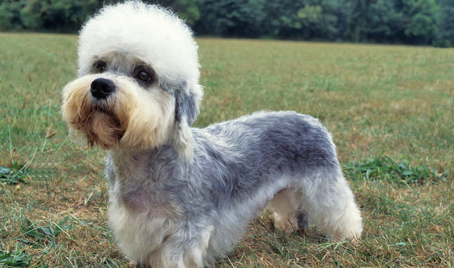 Dandie Dinmont Terrier: Photo #5