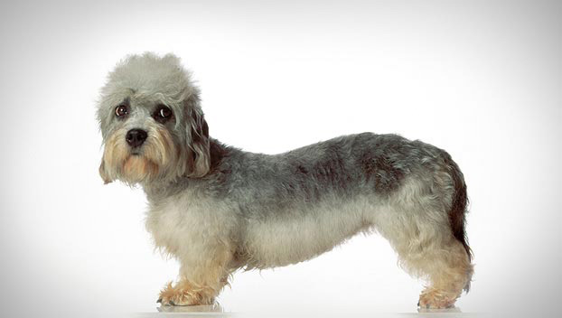 Dandie Dinmont Terrier: Photo #6