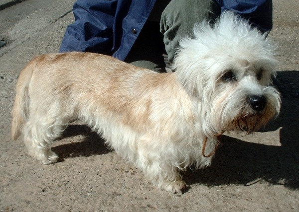 Dandie Dinmont Terrier: Photo #7