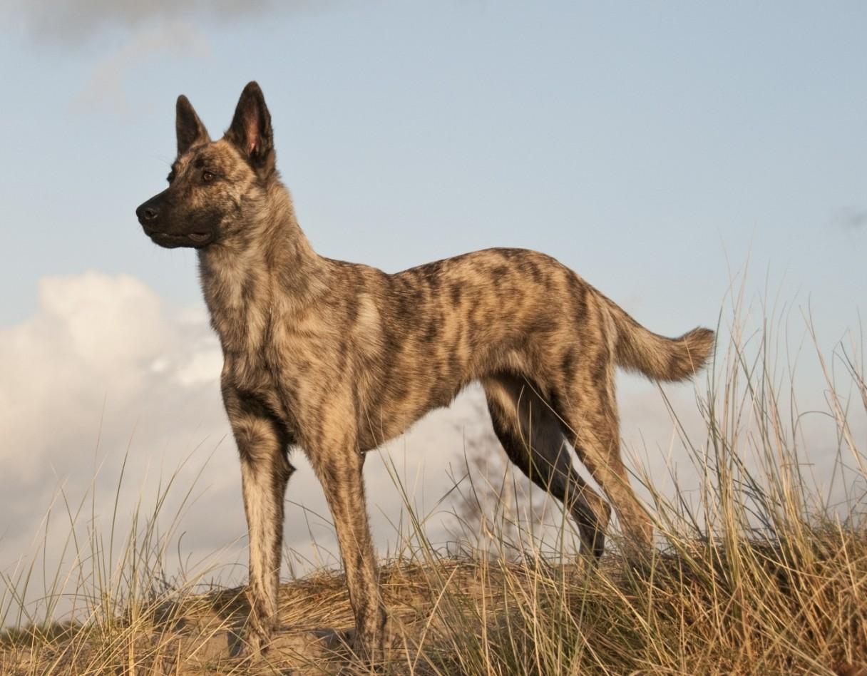 Dutch Shepherd Puppies For Sale | West Covina, CA #306829