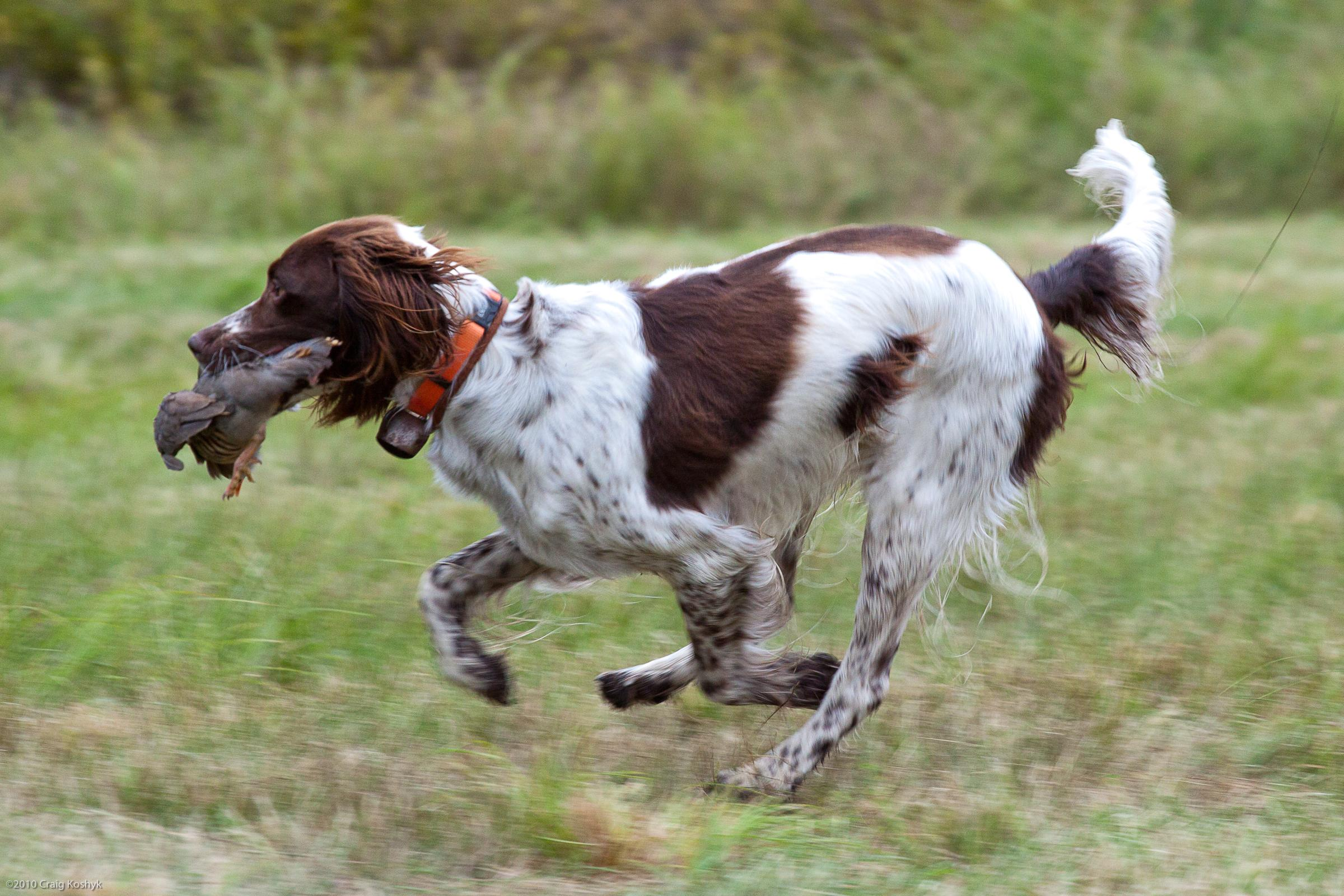 French Spaniel: Photo #10