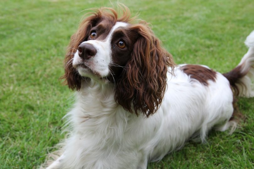 French Spaniel: Photo #1