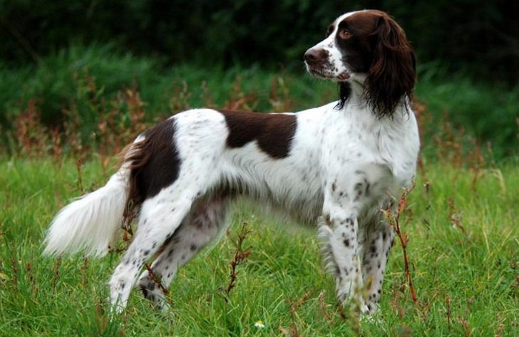 French Spaniel: Photo #2