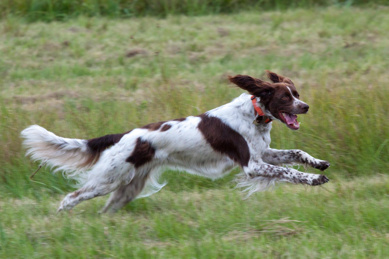 French Spaniel: Photo #3