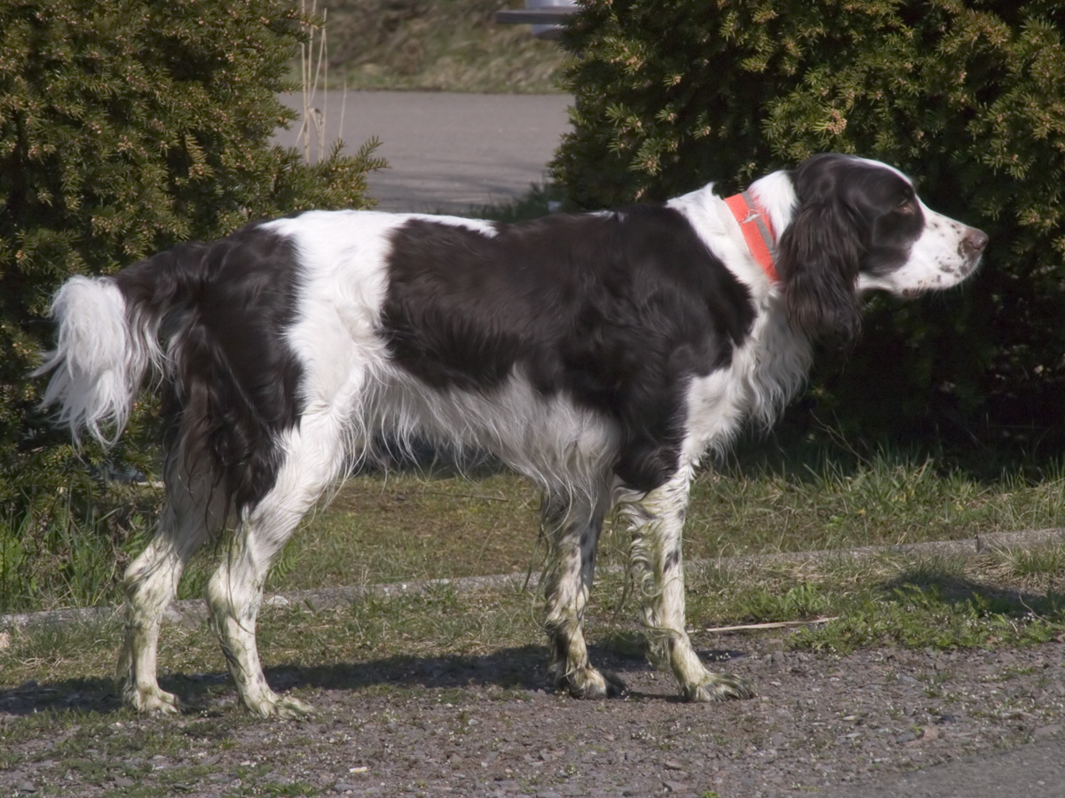 French Spaniel: Photo #4