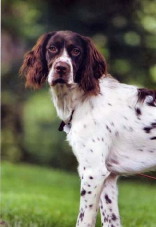French Spaniel: Photo #5