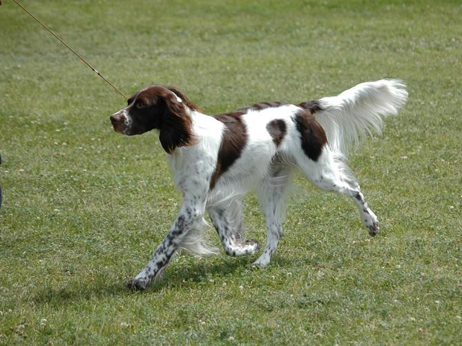 French Spaniel: Photo #8