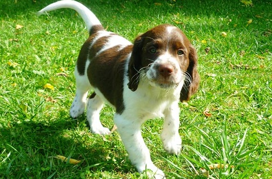 French Spaniel: Photo #9