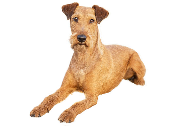 Irish Terrier: Photo #9