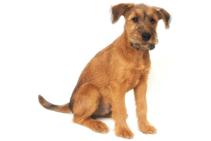 Irish Terrier: Photo #10