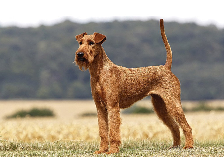 Irish Terrier: Photo #1