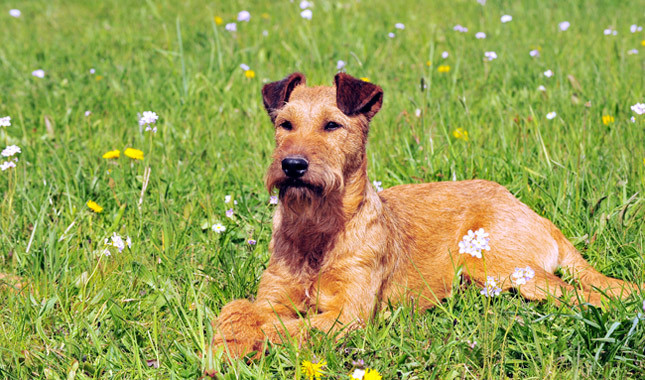 Irish Terrier: Photo #2