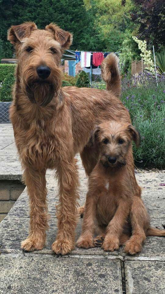 Irish Terrier: Photo #3